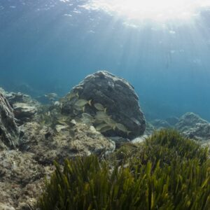 posidonies méditerranée